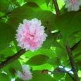 001楊貴妃桜