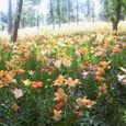 Nec_0041百合の花