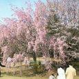 Nec_0045しだれ桜