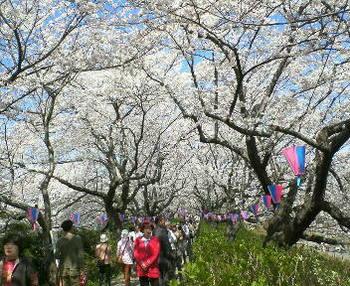 012権現堂の桜