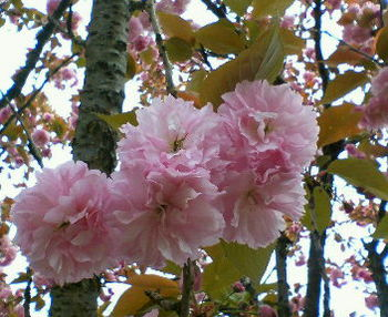 Nec_0019八重桜