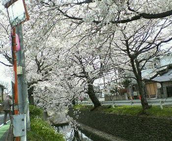 Nec_0034桜