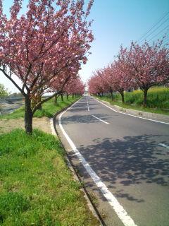 八重桜通り